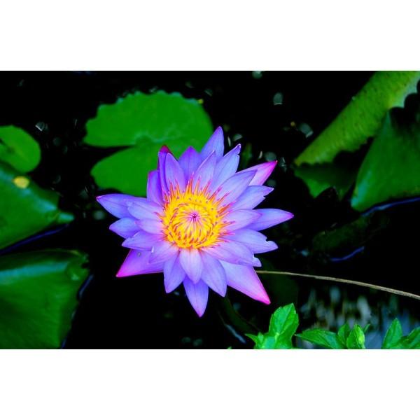 Graines Nymphaea Stellata (Graines Lotus Mauve)