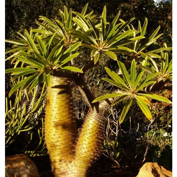 Graines Pachypodium Lamerei