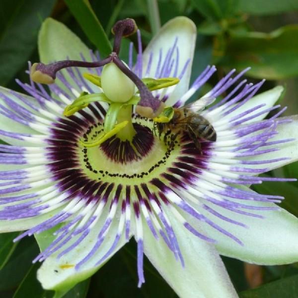 Passiflora Caerulea (Passiflore Bleue)