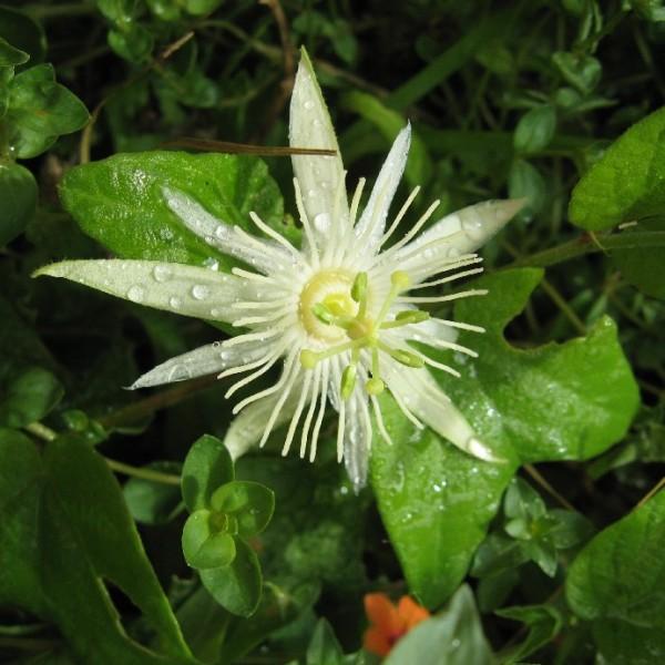 Graines Passiflora Capsularis (Fruits de la Passion, Fleurs de la Passion)