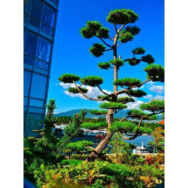 Graines Pinus Thunbergii (Graines Pinus Thunbergiana, Graines Pin Noir du Japon)