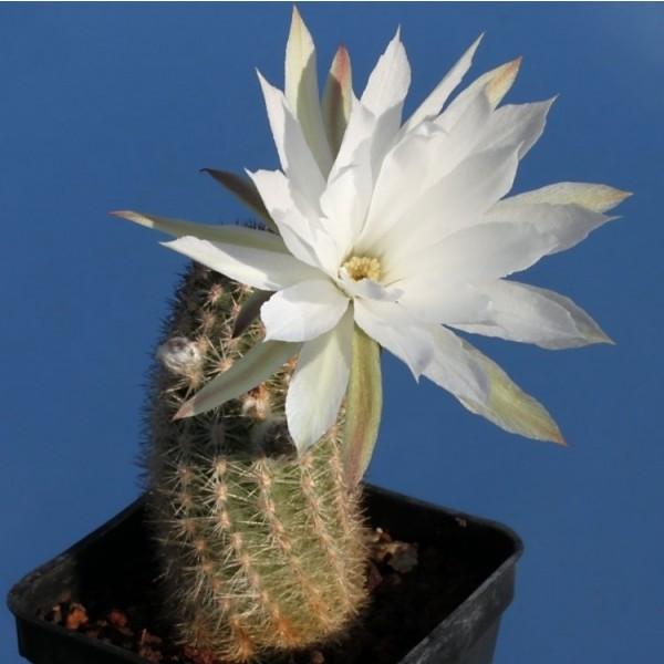 Pygmaeocereus Bylesianus Seeds