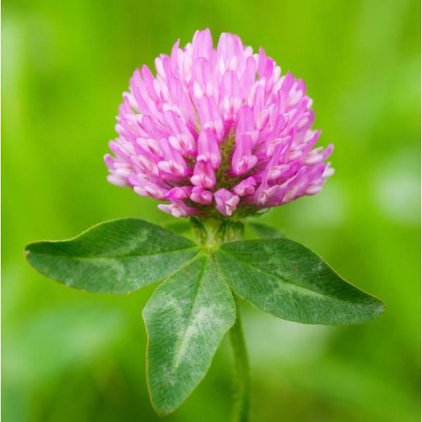 Trèfle Des Prés (Trifolium pratense)