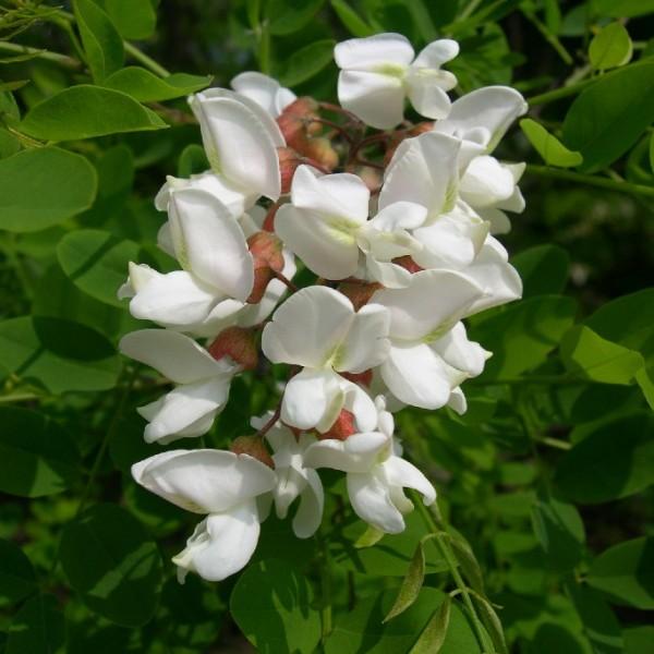 Fleurs Robinia Pseudoacacia (Robinier Faux-Acacia)