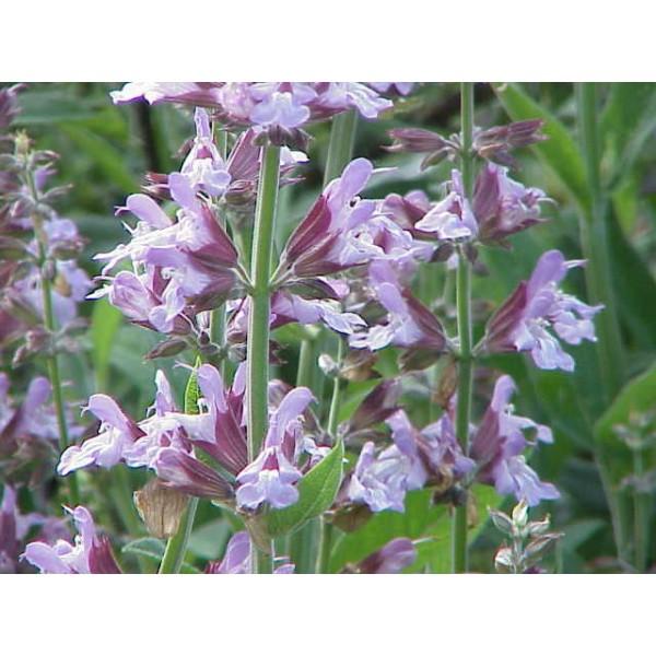 Graines Salvia officinalis (Graines Sauge Officinale)