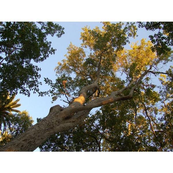Acer Oblongum Seeds (Evergreen Maple Tree Seeds)