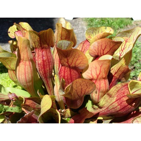 Sarracenia Purpurea Venosa Burkii Seeds (Sarracenia Rosea Seeds)