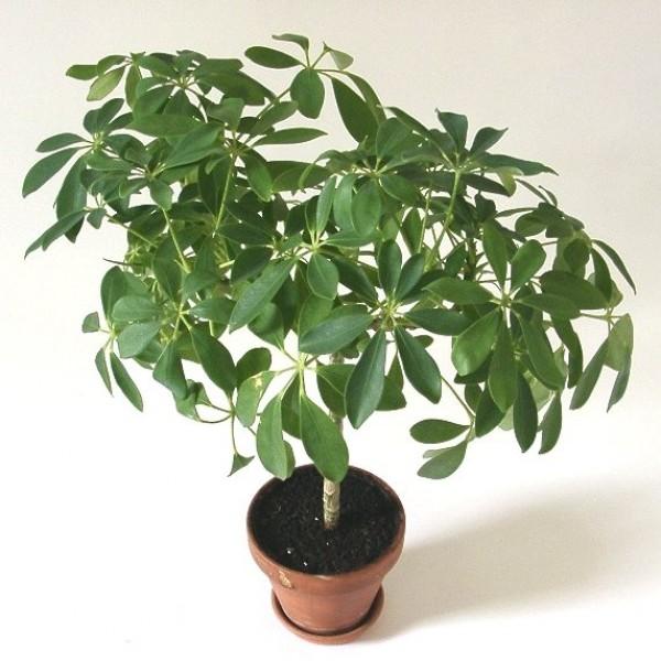 Graines Schefflera arboricola (Arbre Ombrelle)