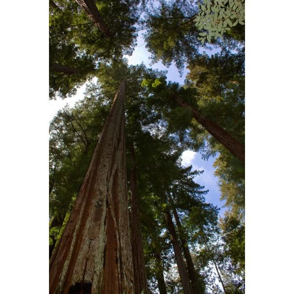 Sequoia Sempervirens (Sequoia à Feuilles Persistantes)
