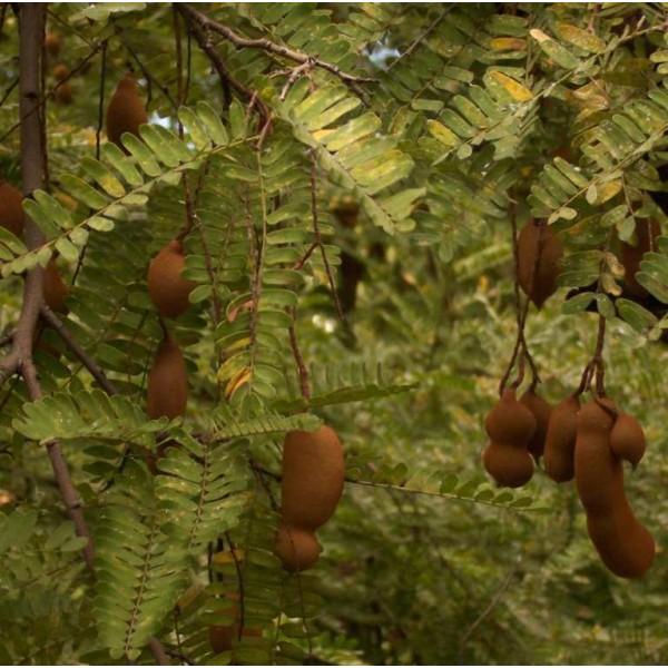 GrainesTamarinier (Tamarindus indica)