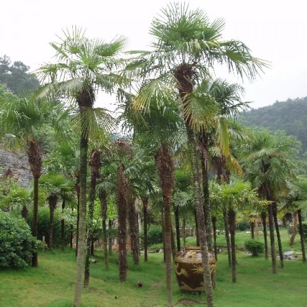 Palmier Chanvre - ( Trachycarpus Fortunei )