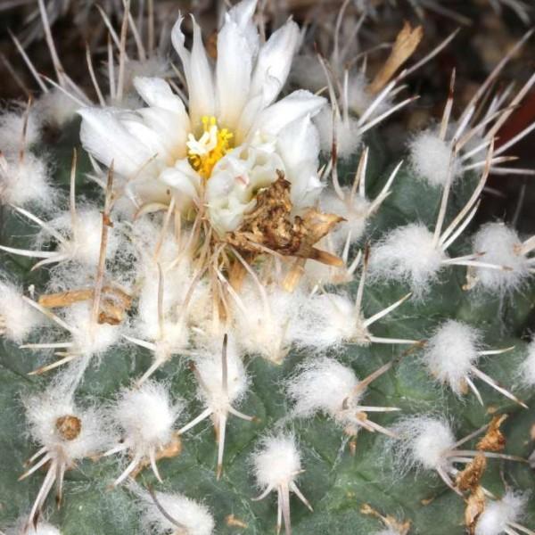 Turbinicarpus Hoferi Seeds