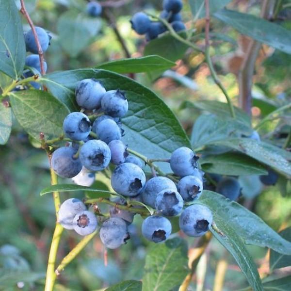 Highbush Blueberry Seeds