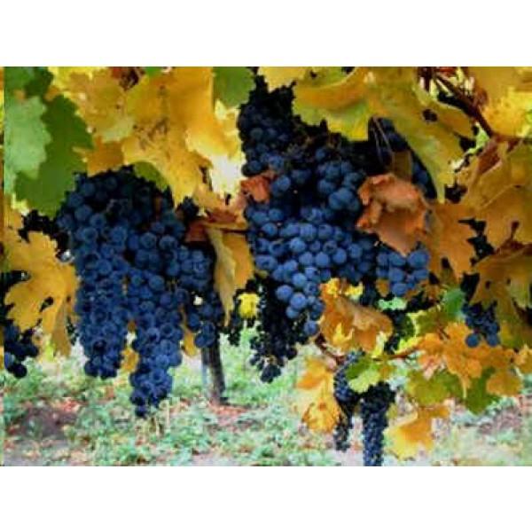 Vitis Vinifera (Vigne Commune)