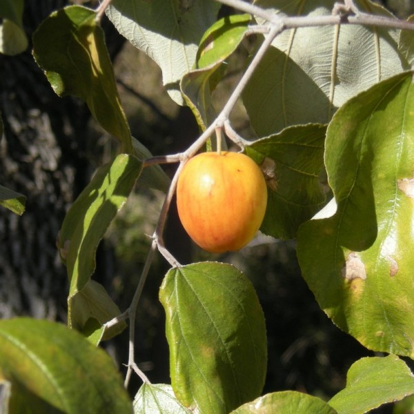 Ziziphus Mauritiana (Jujubier Tropical)