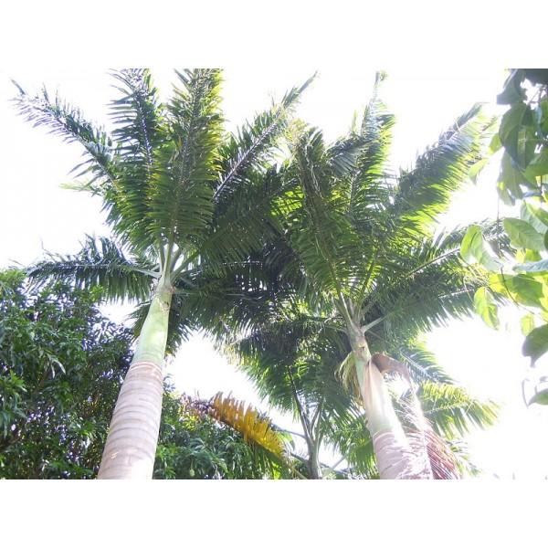 Graines Roystonea Oleracea (Paume Royale Guyanaise)
