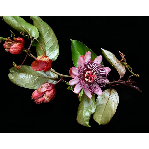 Passiflora Ambigua Seeds (Passiflora Emiliae Seeds, Passion Flower Seeds)