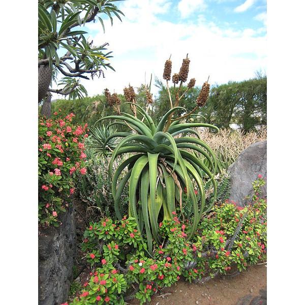 Graines Aloe Vaombe
