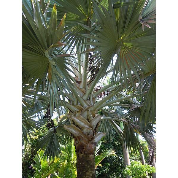 Graines Bismarckia Nobilis (Graines Palmier de Bismarck Argenté)
