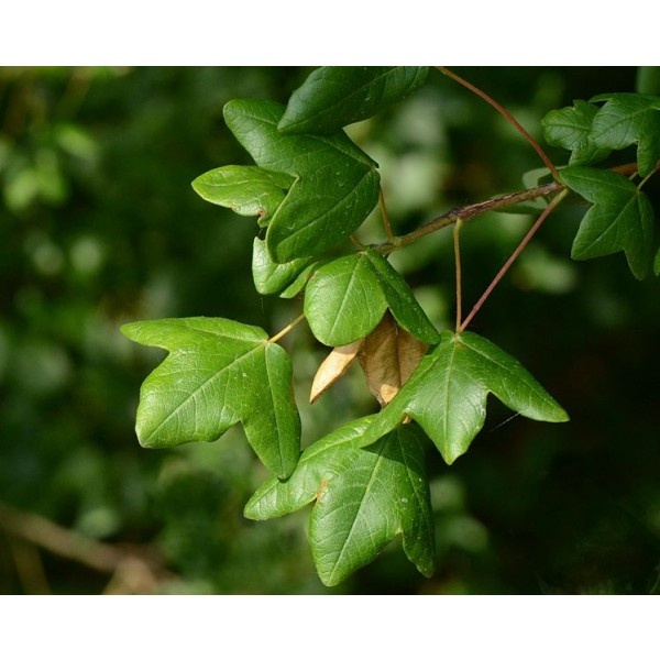 Graines Acer Monspessulanum (Graines Érable de Montpellier)