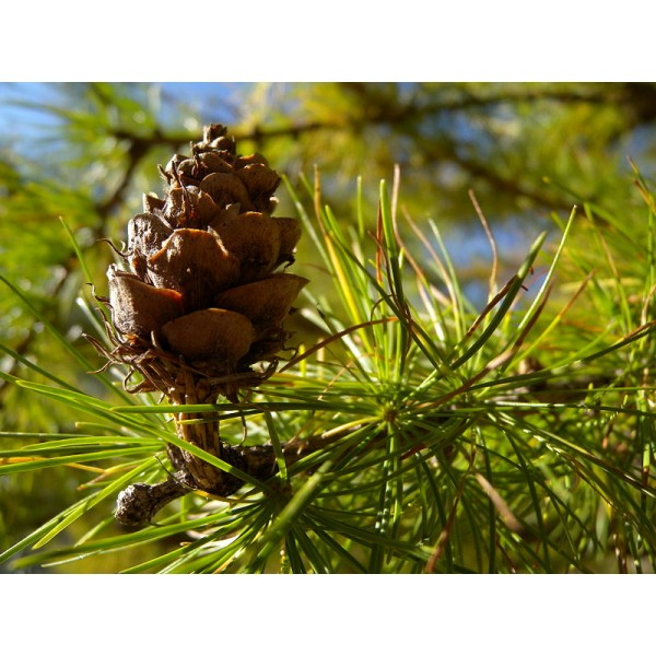 Graines Larix Decidua (Graines Mélèze d'Europe, Mélèze Commun)