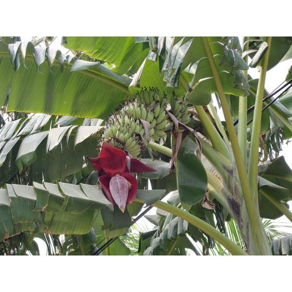 Musa Acuminata (Bananier Cavendish Nain)