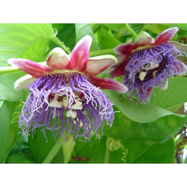 Graines Passiflora Quadrangularis (Grenadille Géante)