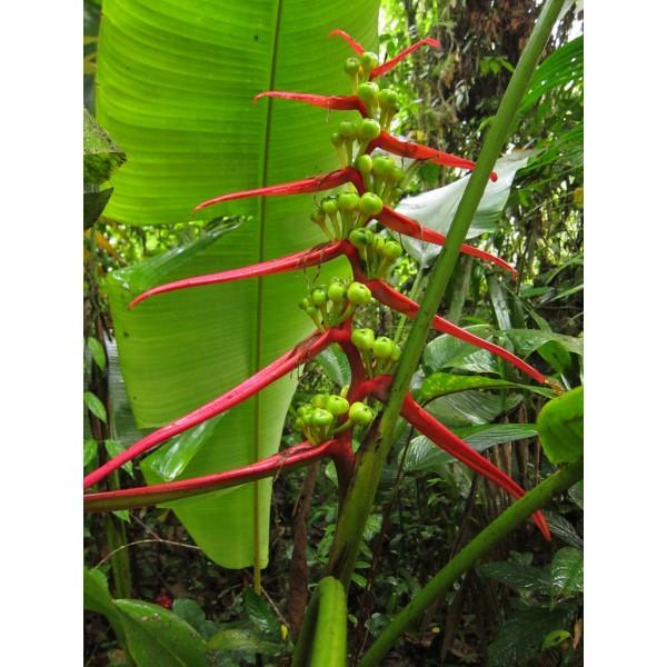 Heliconia Aemygdiana