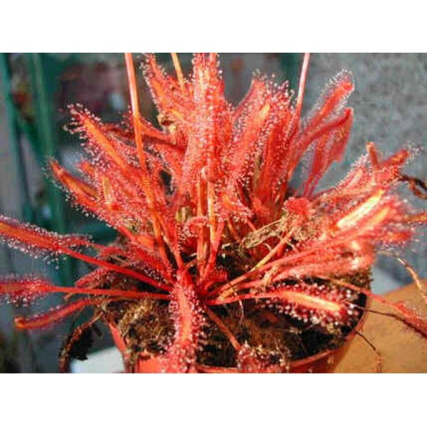 Graines Drosera Capensis Rouge (Sud Africaine)