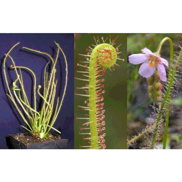 Graines Drosera Filiformis