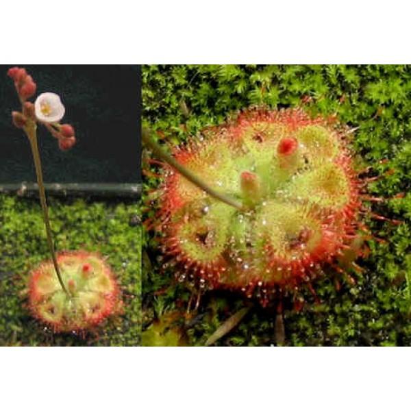 Graines Drosera Sessilifolia (Sud Américaine)