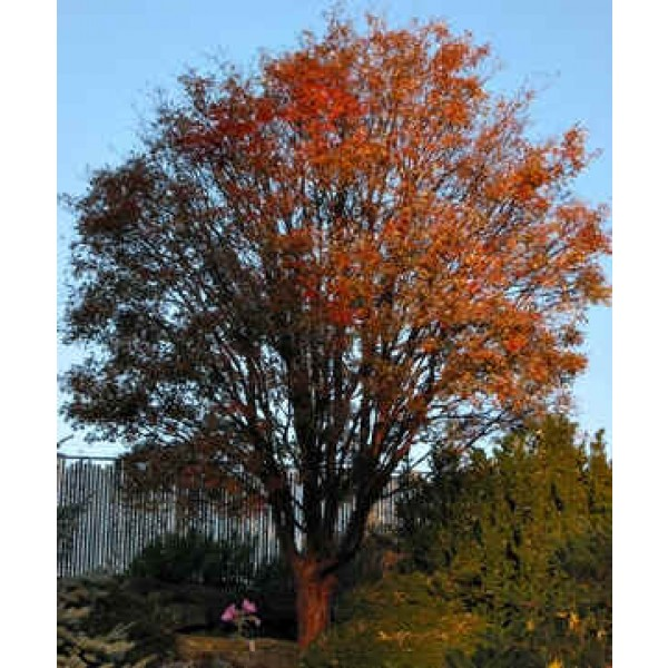 Acer Griseum (Érable à Écorce de Papier, Écorce Cannelle)