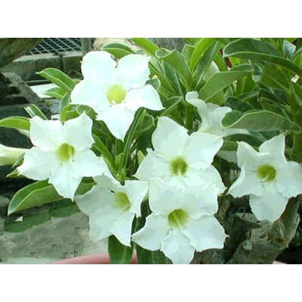 Graines Adenium (Étoile Parfumée)