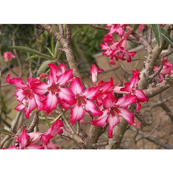 Graines Adenium Somalense (Graines Rose du Désert)
