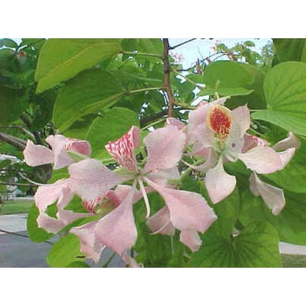 Graines Bauhinia Monandra (Graines Arbres à Orchidées Rose)