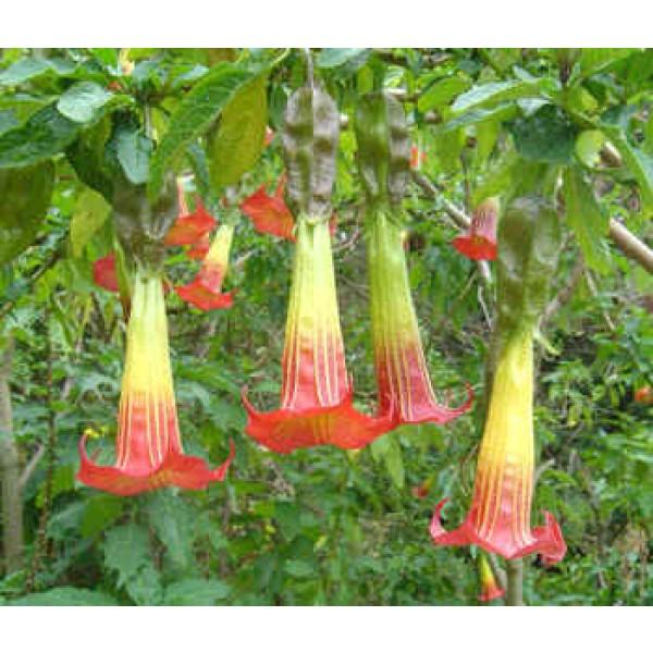 Brugmansia Sanguinea (Trompettes des Anges Écarlate)