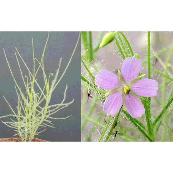 Graines Byblis Filifolia (Plante Arc-En-Ciel)