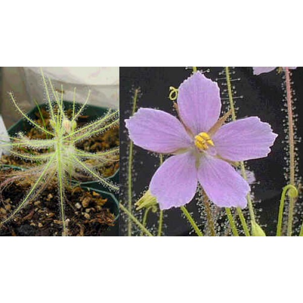 Graines Byblis Liniflora (Plante Arc-En-Ciel)