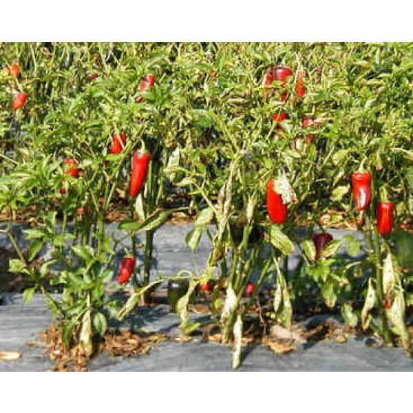 Graines Capsicum Jalapeno (Graines Capsicum Annum)