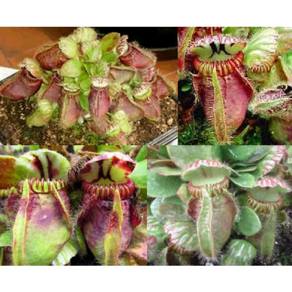 Cephalotus Follicularis ( Plante Carnivore d'Albany)