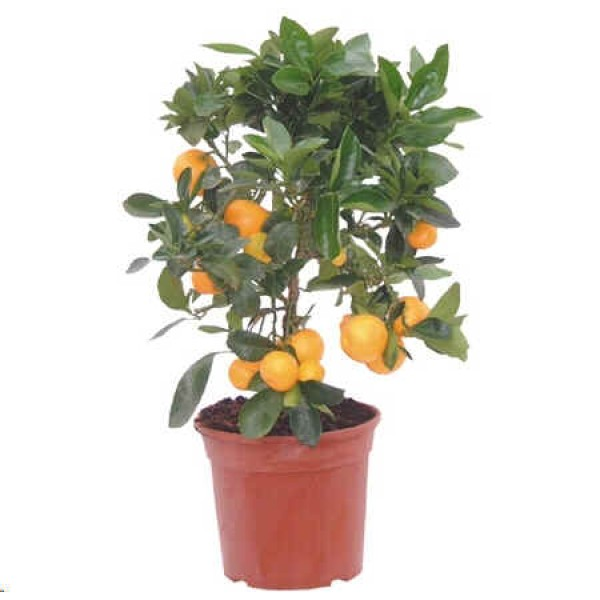 Graines Citrus Mitis (Graines Oranger d'Appartement)