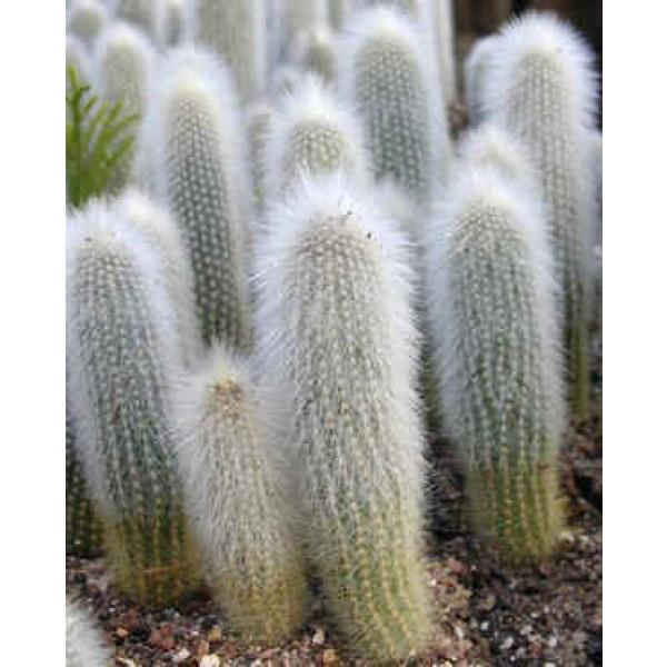 Graines Cleistocactus (En Mélange)