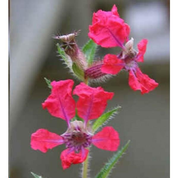 Graines Cuphea Miniata (En Mélange)