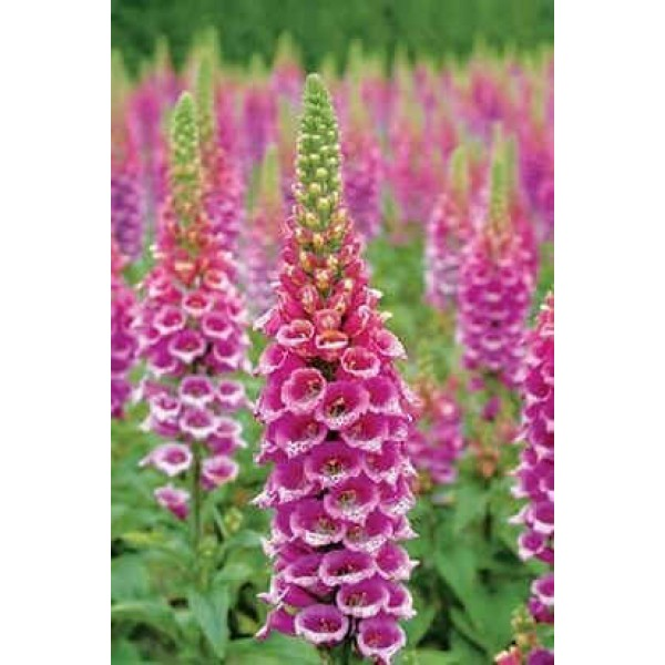 Graines Digitalis Candy Mountain