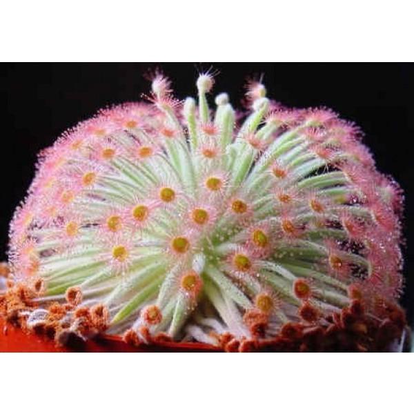 Graines Drosera Derbyensis (Plante Pieuvre) (Petiolaris-Complexe)