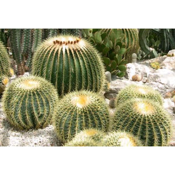Graines Echinocactus (En Mélange)