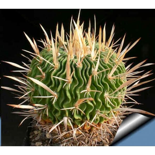Graines Echinofossulocactus (En Mélange)