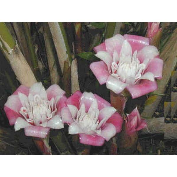 Graines Etlingera Venusta (Graines Rose de porcelaine)