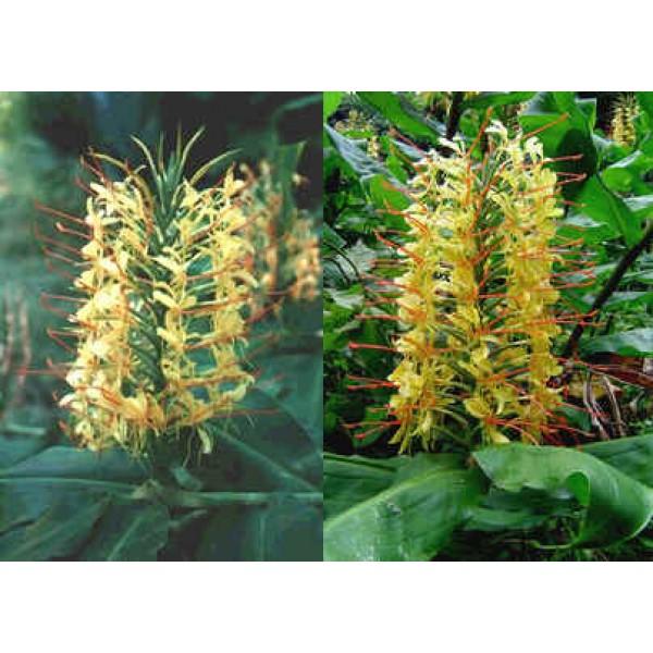 Graines Hedychium Gardnerianum (Graines Gingembre Sauvage)