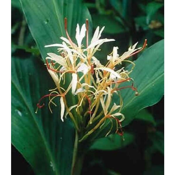 Graines Hedychium Spicatum (Graines Gingembre)